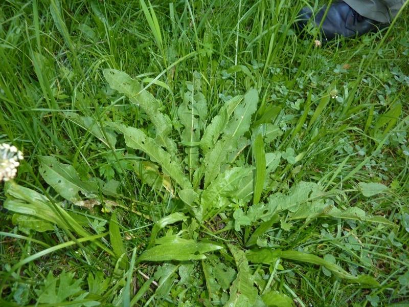 100710004_Krauser Ampfer, nur kleine Blätter sonst bitter (Oxalsäure)