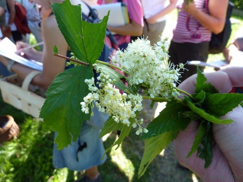 100710015_Mähdersüß, Blüten wie Holler, Fundort an Wassergräben