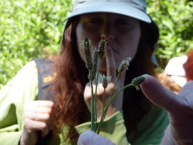 100710037_Spitzwegerich, Blüten essen auch im reifen Zustand (Eierschwammerl), Breitwegerich hat große Blätter, junge Blätter für Gemüse