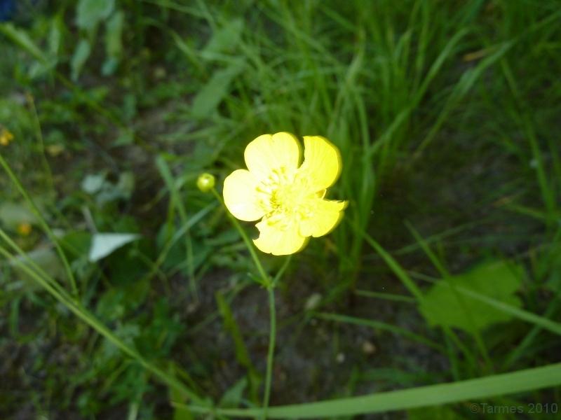 100710096_Hahnenfuß Blüte