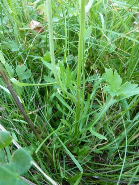 100710106_Jakobskreuzkraut Blätter