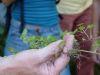 100710001_Gundelrebe, blutreinigend, hellviolette Blüte, Salatbeigabe oder Tee, alles brauchbar