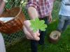 100710003_Frauenmantel mit Tropfen am Rand, Tee f Regelbeschwerden, Blüten auch als Wildgemüse