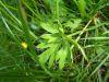 100710006_Hahnenfuss, gelbe Blüte, enthält Glukocide, GIFTIG, Scharfer Hahnenfuß, ev. Schockreaktionen