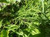 100710008_Ackerschachtelhalm, Heilpflanze, enthält Silizium
