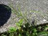 100710009_Ackerschachtelhalm, Wenn die Seitenschachteln länger sind als die Mitte zieht der Bauer den Kürzeren