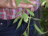 100710014_Mähdersüß, Salicilsäure, schmerzmildernd, desinfizierend, während der Blüte sammeln, schmeckt roh, sonst getrocknet für Tee mit Pulver FIsch einreiben