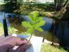 100710022_Giersch, auch Erdholler genannt,  nur junge Blätter, blutreinigend, entsäuernd, nach Blüte nicht verwenden