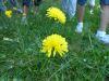 100710029_Ferkelkrautblüte