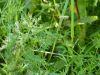 100710079_Blatterbsen und Vogelwicke, Erbse hat gelbe Blüten, die Schoten sind verwendbar