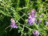 100710091_Vogelwicke, Blüte und Blätter