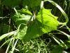 100710092_Huflattich, zäh, auf Lehmböden, zum wickeln wie Weinblätter