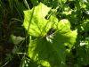 100710093_Huflattich, Blüte kann als Hustentee verwendet werden, Pilze kann man einfach abrubbeln