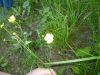 100710097_Hahnenfuß Blüte und Stengel