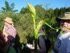 100710108_Mutter-Kind-Pflanze (Angelika)glatter Stengel, burgunderrot überlaufen, Seitentaschen auch rot, Rille, Geruch typisch, Verdauung, Lunge, Bronchien,